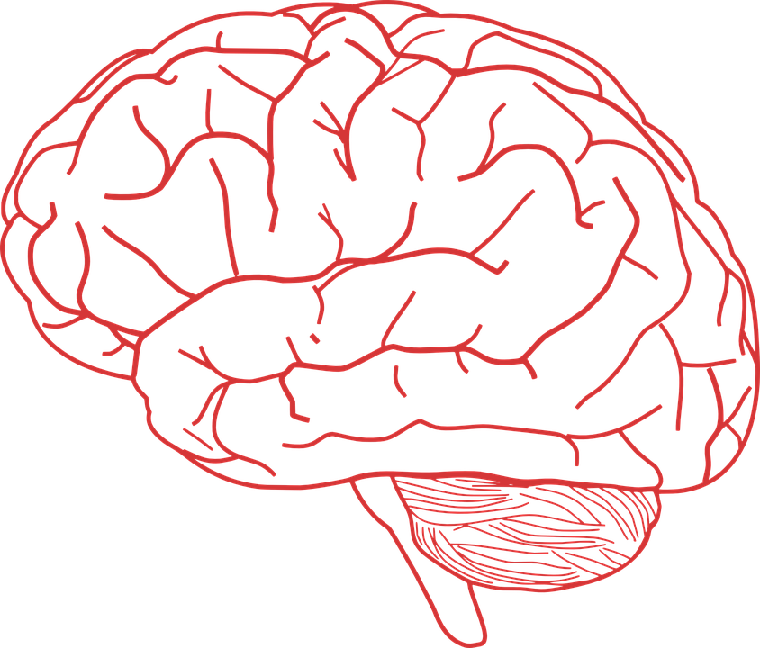 Brain Human Anatomy Free Vector Graphic On Pixabay