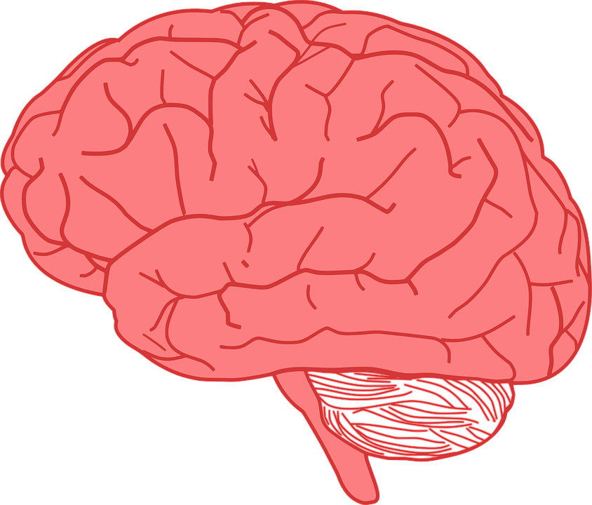 Brain Human Anatomy · Free vector graphic on Pixabay