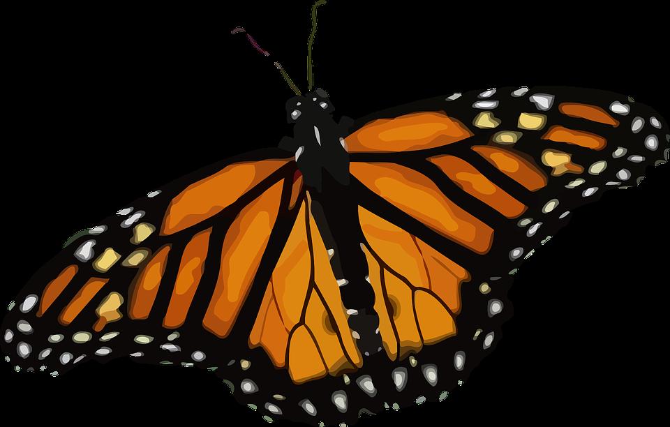 Célèbre Image vectorielle gratuite: Papillon, Papillon Monarque - Image  EG41
