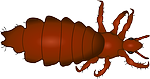 louse, insect, animal