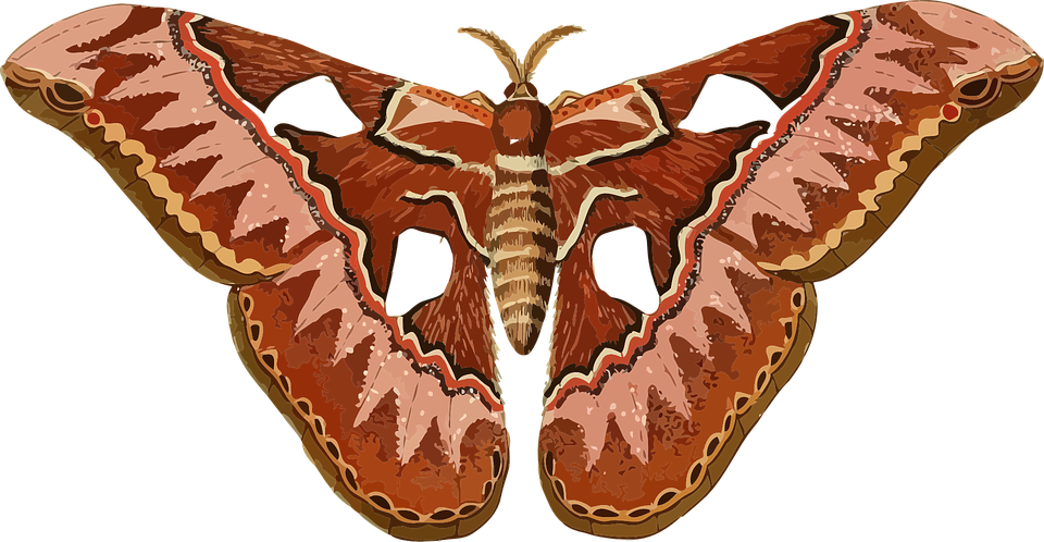 Free vector graphic: Animal, Butterfly, Insect, Moth ...