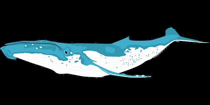 動物, 海, クジラ, シロナガスクジラ, ナガスクジラ属の筋, 海洋哺乳類