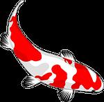 fish, koi, red