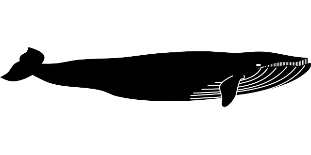 blue whale animal 183 free vector graphic on pixabay