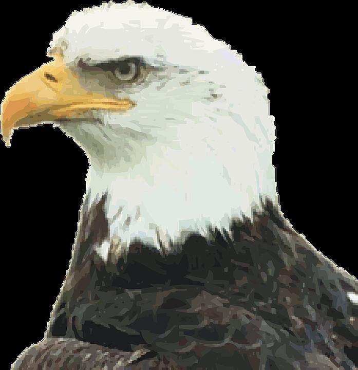 Águila Calva Pájaro De Zeus · Gráficos vectoriales gratis en Pixabay