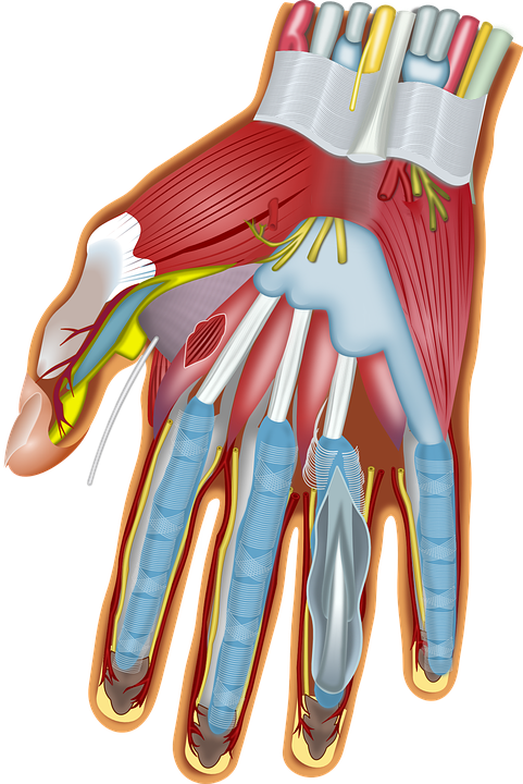 Finger Hand Anatomy Free Vector Graphic On Pixabay