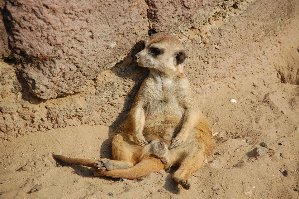 free photo meerkat animals africa zoo lazy free image on pixabay 162466. Black Bedroom Furniture Sets. Home Design Ideas