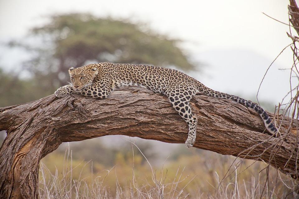 Leopard, Safari, Afrika, Kenya