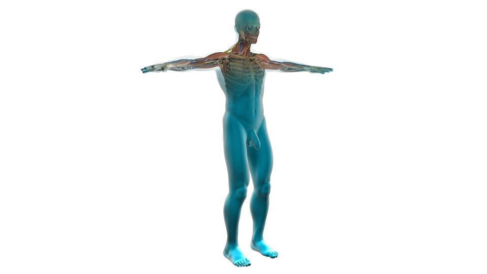 Human Cardiovascular System Free Image On Pixabay