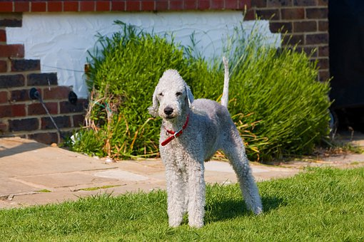 Bedlington Terrier, Bedlington, Terrier