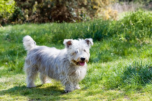 Dog, Glen Of Imaal Terrier, Terrier