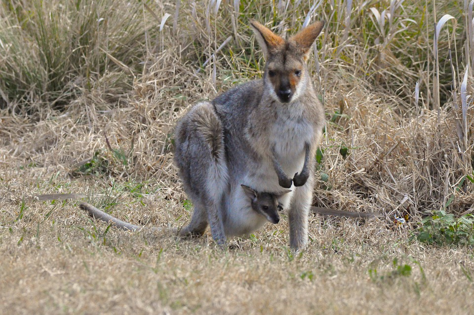 Wallaby Pouch Free photo: Kangaroo, ...