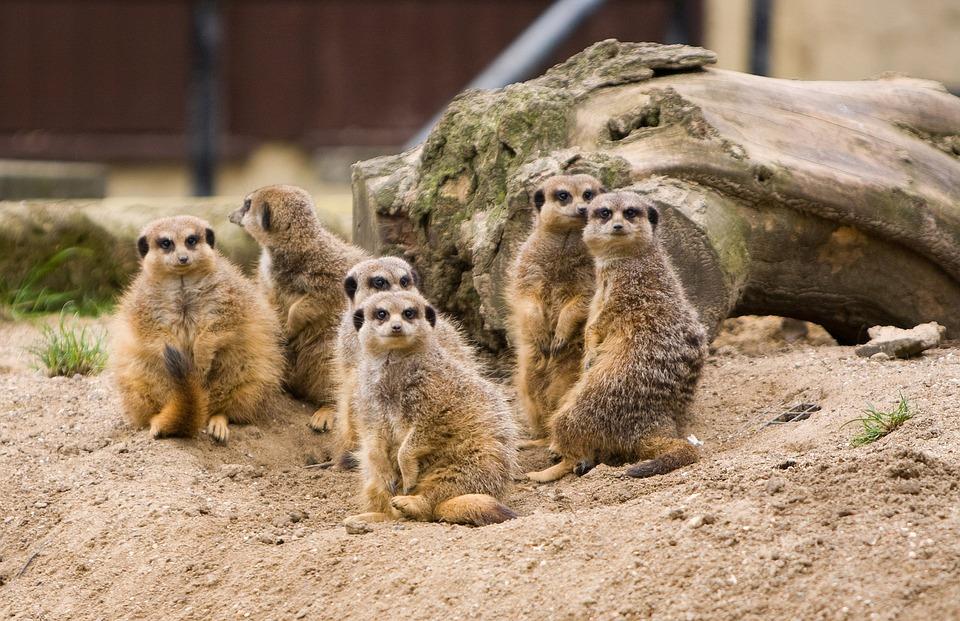 meerkat info