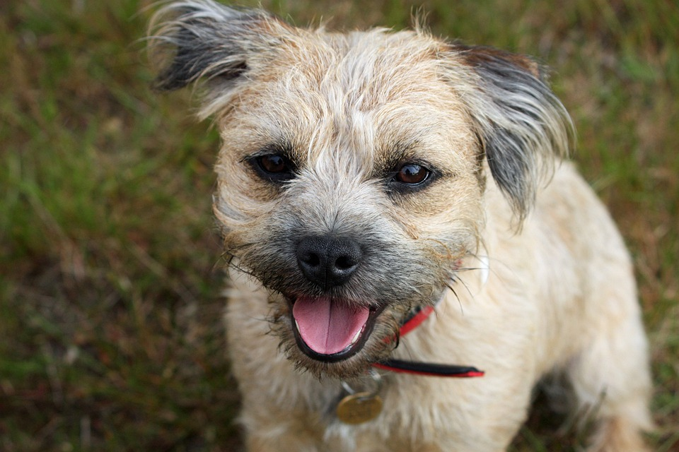 Border Terrier, Terrier, Dog, Cute, Adorable, Close-Up