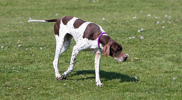 English Pointer, Pointer, Dog, Hunting