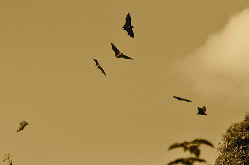 Bats, Flying, Fly, Wings, Webbed, Wing