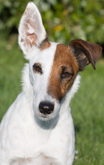 Fox Terrier Smooth  U00b7 Free Photo On Pixabay