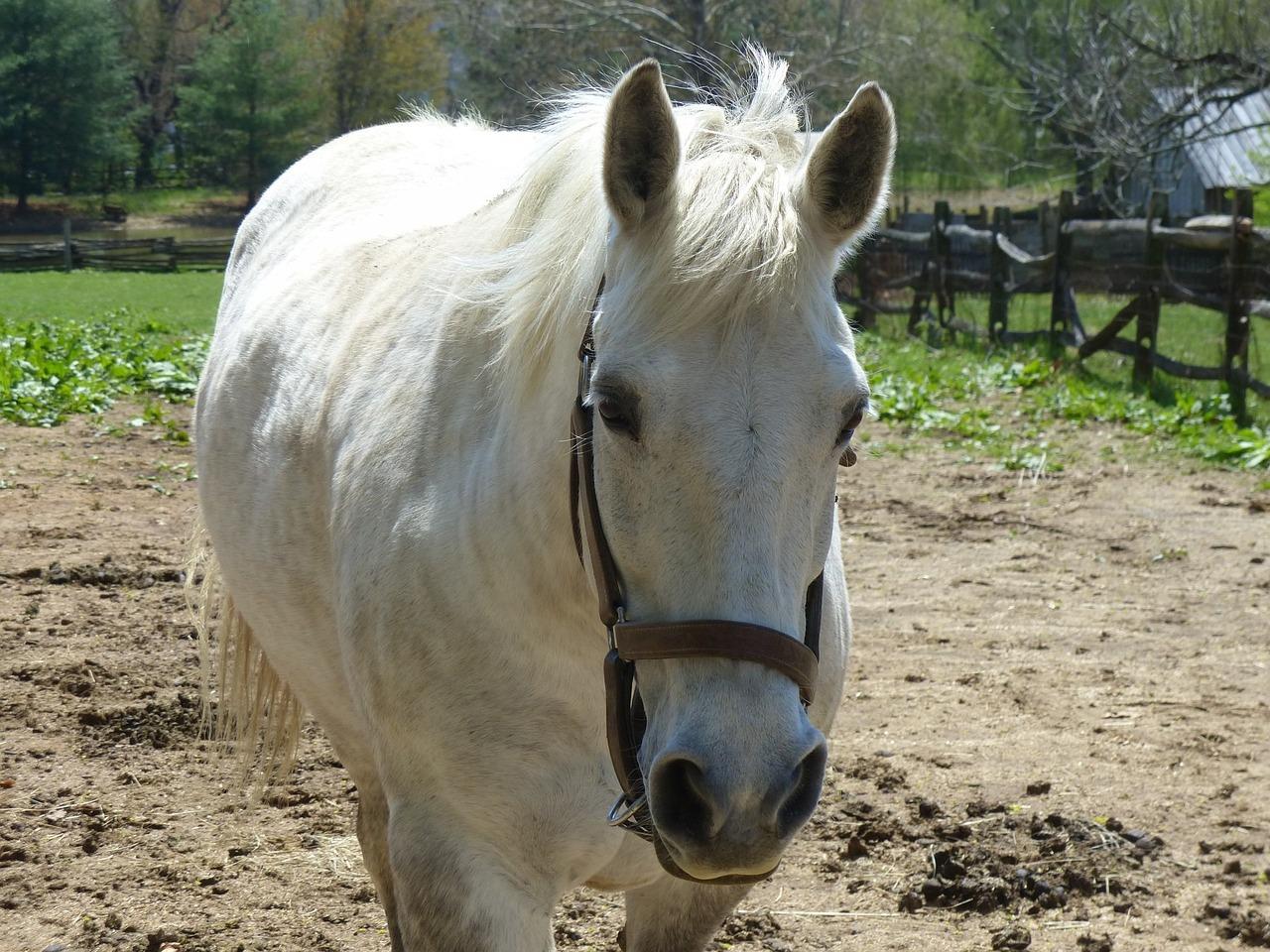 Horse Farm Animal Pet White Free Photo On Pixabay