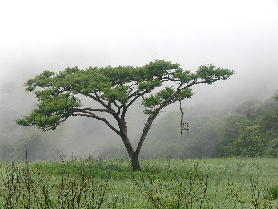 Außergewöhnlich 200+ kostenlose Akazie und Baum-Bilder - Pixabay #ZY_86