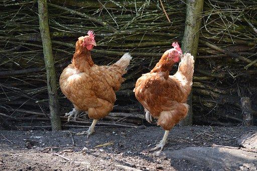 Kyllinger, Dans, Fugle, Dyr, Sød, Sjov