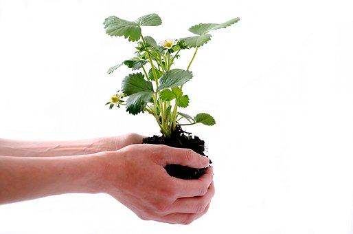 Plantes, Isolé, Humaine, Fraise