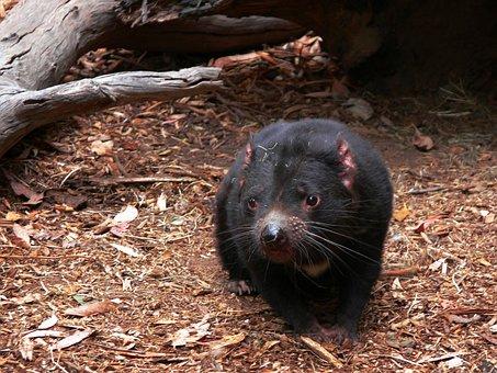 Tasmanian Devil Carnivorous Marsupial Wild