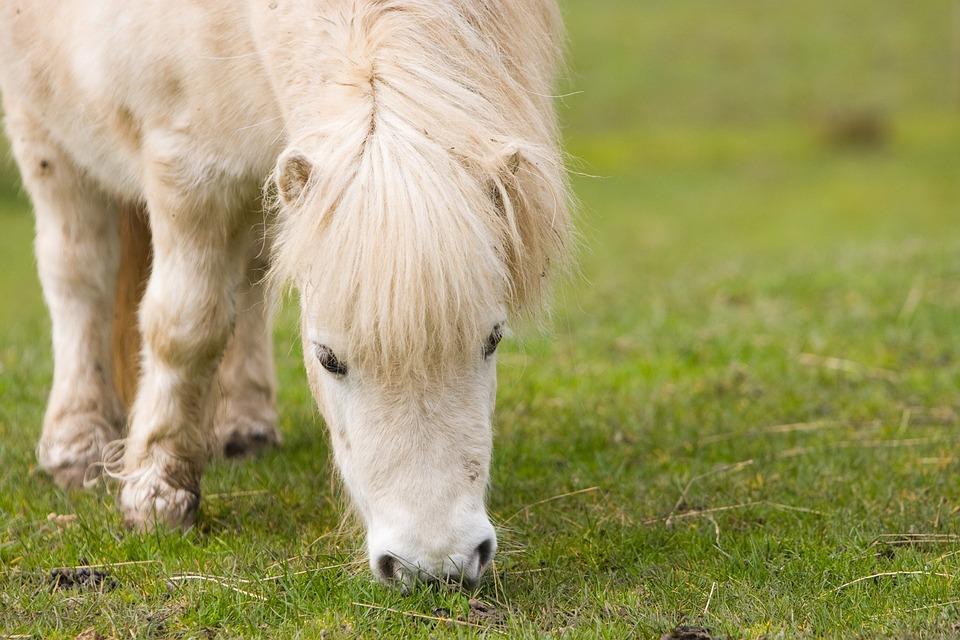poney shetland cheval poney blanc pturage