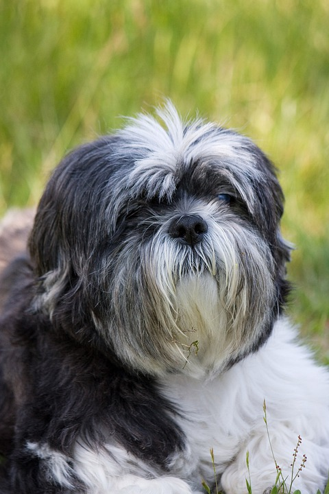 Shih Tzu Perro Mascota Foto Gratis En Pixabay