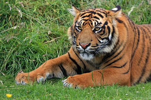 Tiger Sumatran Sumatran Tiger Tiger Cub Cu