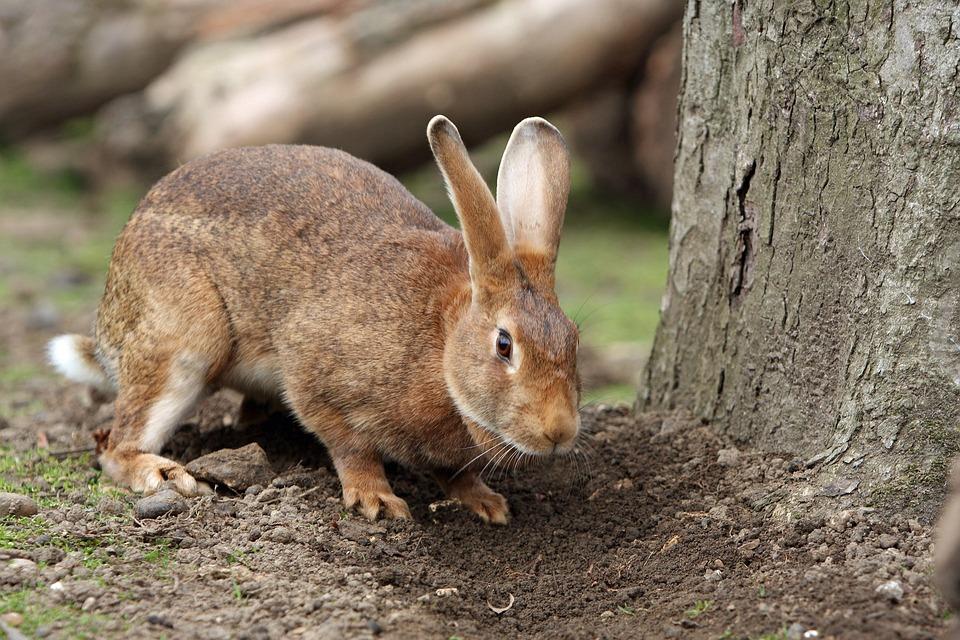 Bunny, Rabbit, Pet, Cute, Brown, Outdoors, Garden