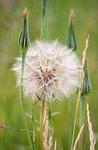 dandelion, puff, flower