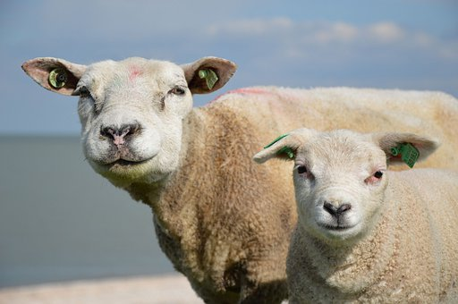 Sheep, Animals, Lamb, Rural, Pasture
