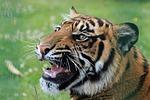 tiger, snarling, close-up