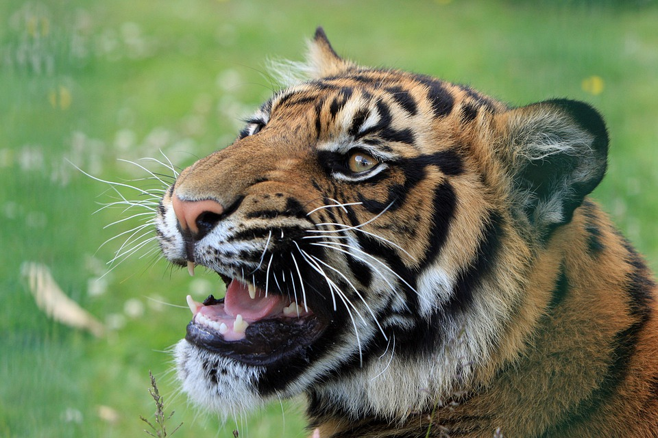 tiger snarling close up free photo on pixabay. Black Bedroom Furniture Sets. Home Design Ideas