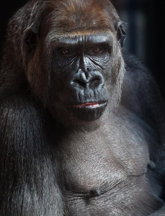 black ape images pixabay download free pictures