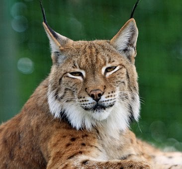 Bobcat Lynx Big Cat Feline Wildlife Animal