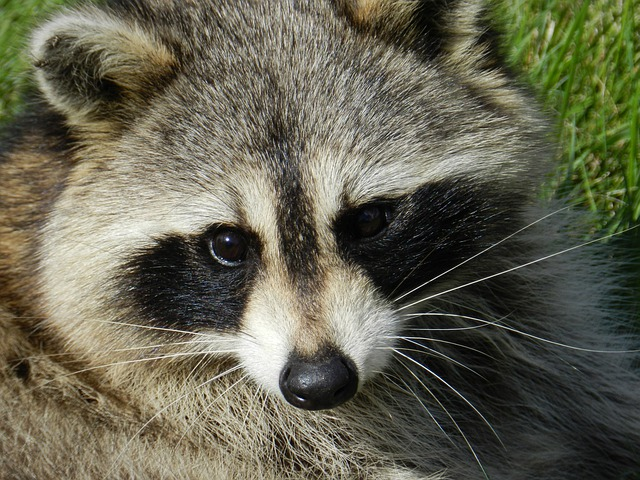 free photo raccoon animal procyon lotor free image on
