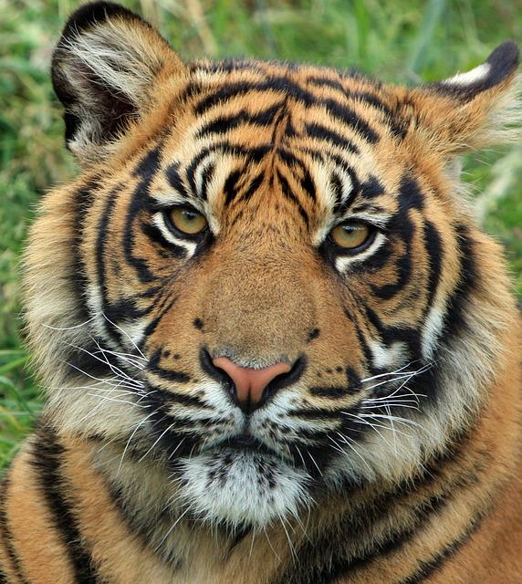 Free photo tiger cub tiger cub big cat free image on - Image tete de tigre ...