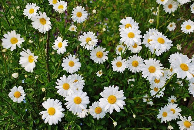 デイジー 花 春 マルグリット 植物 ブルーム カラフルです 詳細 花柄 庭 緑 自然
