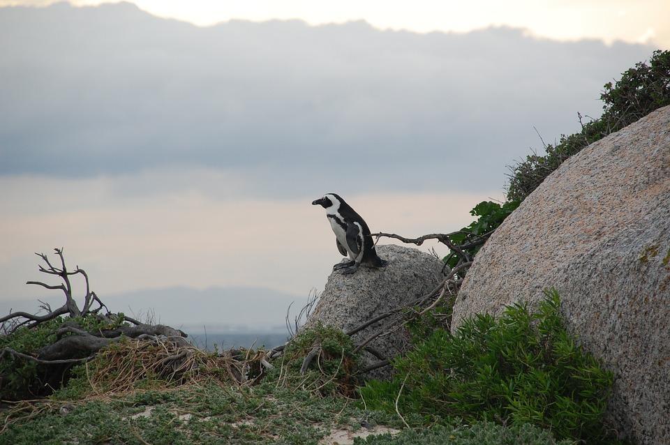 Risultati immagini per pinguini sud africa