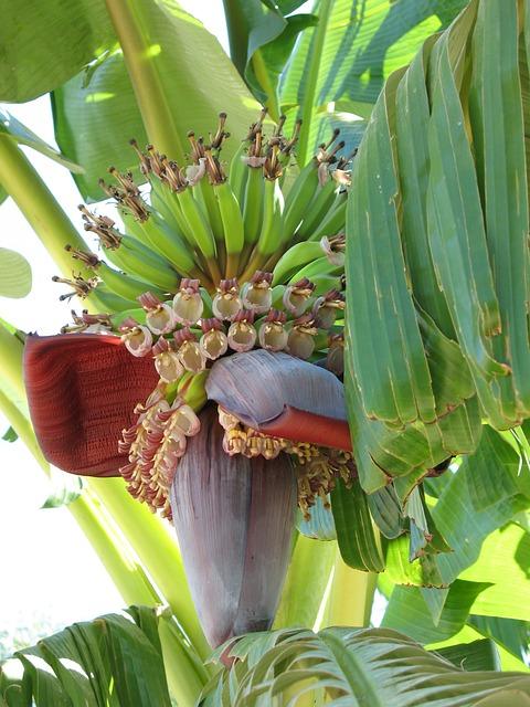 pflanze banane bananen strauch 183 kostenloses foto auf pixabay