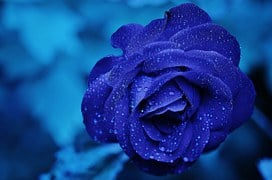 Rose, Blue, Flower, Bloom, Romance