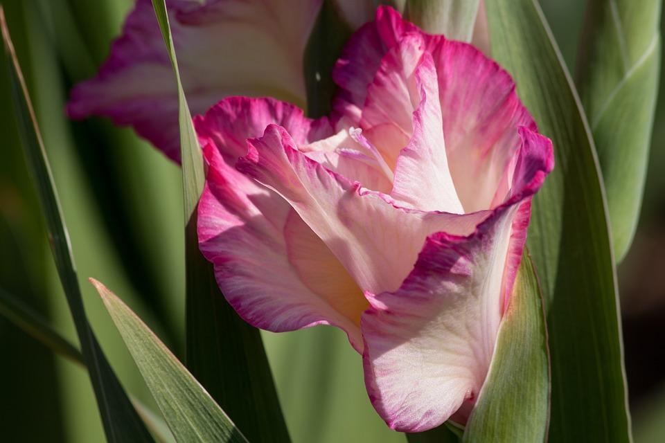 Glayöl Kılıç çiçeği Açan Pixabayde ücretsiz Fotoğraf