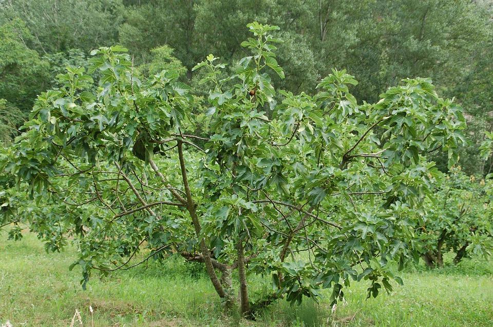 Photo gratuite figuier provence sud arbre image - Arbre provencal ...