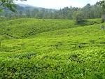 plantation, tea, garden