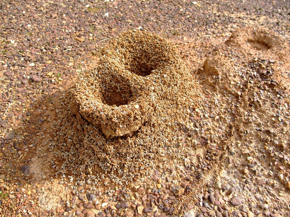 What does a carpenter ant nest look like