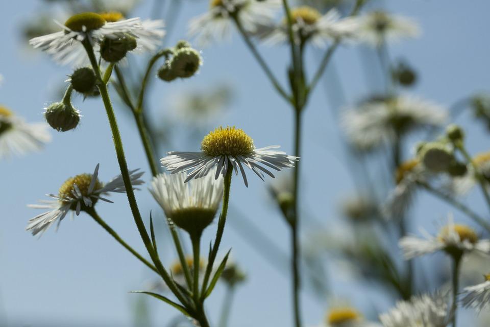 Alam Tanaman Chamomile Bunga Foto Gratis Di Pixabay