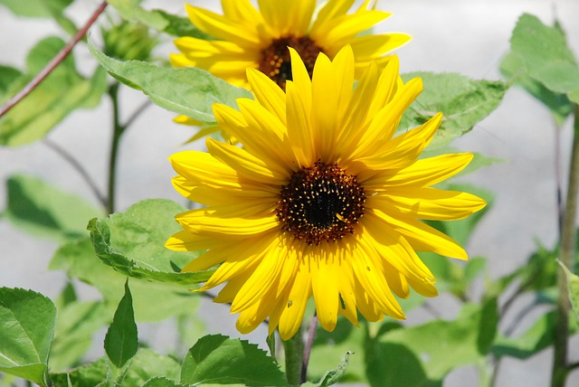 Sunflower Flower Yellow Wild Free Photo On Pixabay