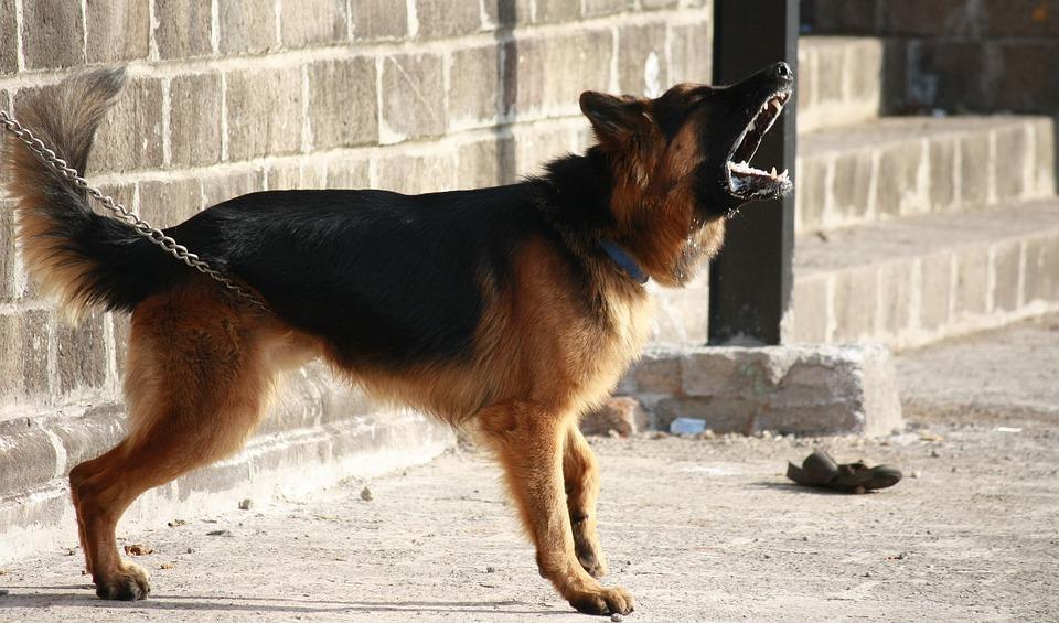 ジャーマン ・ シェパード, 犬, 吠えること, ガード, アラート, 警告, チェーン, 立っている