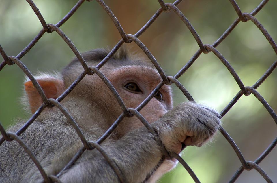 Apina, Reesusmakaki, Macaca Radiata, Eläinten